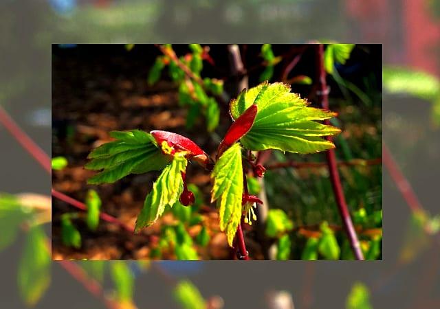 Plantas Nativa Llc Nw Native Trees Shrubs Perennials